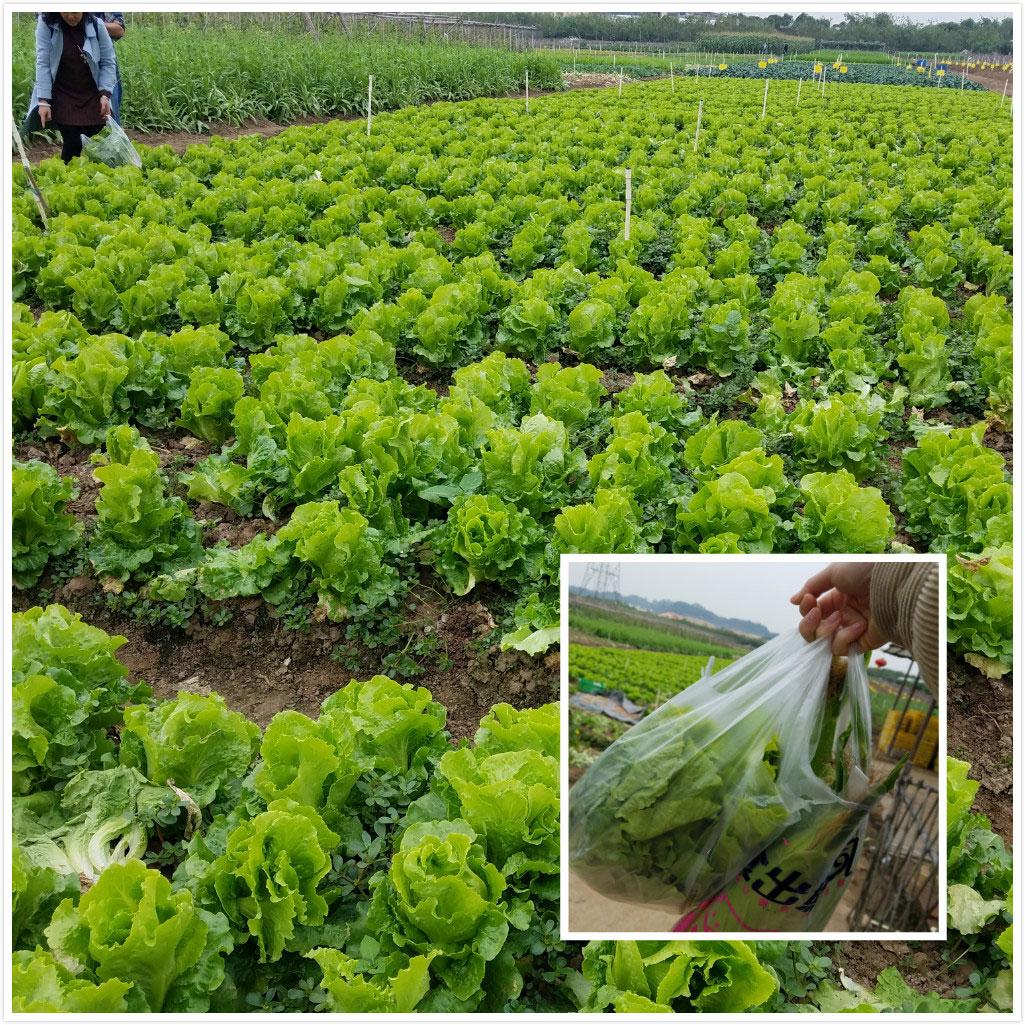 易网科技拓展活动——采摘生菜